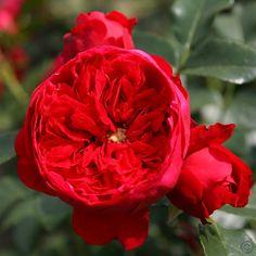 Florentina ~ Climbing Rose