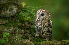 Gamarús - Cárabo común - Strix aluco - Tawny Owl