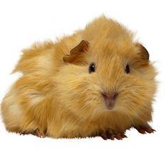 guinea_pigs_-_problems-1.scaler.jpg (600×566)