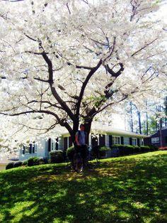 alabama dogwood in spring