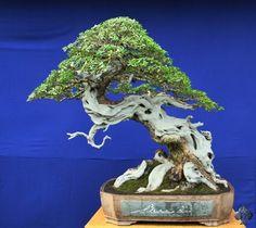 Pemphis-Acidula bonsai