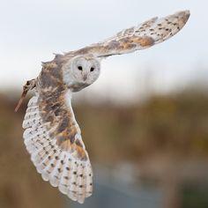 Barn owl caught in flight