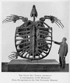 The Giant Sea Turtle Archelon A contemporary of the Mosasaurs From the specimen in the Yale University Museum  Since the sea turtles living in our oceans today are fighting for their survival, the Archelon is an especially poignant exhibit and serves as a reminder of Earth's many endangered species. http://www.bhigr.com/pages/info/info_arch.htm