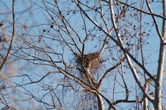 Eagle Nest high up in a sycamore tree along Roaring River - Roaring River State Park - Near Cassville, Missouri  (Jeffery Parker)