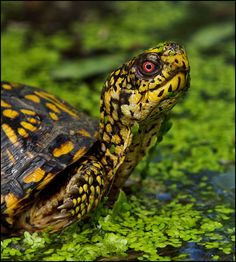 Photographing an Eastern Box Turtle may not be as challenging or exciting as catching Bald Eagles or or Glossy Ibis. But, in their own hard-shell reptile way, they can be quite beautiful. Box Turtles live on average 40 years with some know to live for a century.