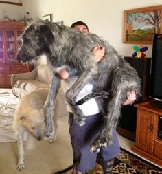 Irish Wolfhound - 7 months old