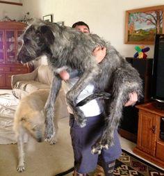 Irish Wolfhound - 7 months old
