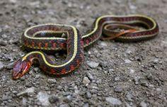 Coast Garter Snake ≳✦✩↬@qveenparĸ↫✩✦