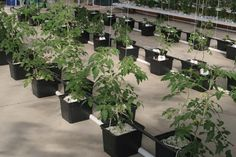 Hydroponic tomatoes growing in perlite filled dutch buckets. Hydroponic Tomatoes, Hydroponic Farming, Indoor Aquaponics, Hydroponic Growing, Aquaponics Fish, Hydroponic Gardening, Organic Gardening, Gardening Tips, Aquaponics Greenhouse