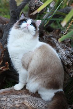 I hope my future ragdoll becomes as pretty as her! Ravera Ragdoll Cats, Kittens - Australian Registered Breeders, Sydney, NSW
