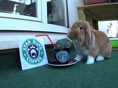 """Pimousse opened a Starbucks franchise for bunnies onlybrbrWho want to try a healthy and fresh recipe ?brbrFollow this cute little bunny on Instagram :bra href=""""https://www.instagram.com/pimoussethebunny/"""" rel=nofollow target=_blankhttps://www.instagram.com/pimoussethebunny//a"""