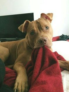 Just a pit bull and his blankie., pitbull Just a pit bull and his blankie. Cute Baby Animals, Animals And Pets, Funny Animals, Cute Puppies, Cute Dogs, Dogs And Puppies, Doggies, Pit Bull Puppies, Chihuahua Puppies
