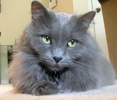 gray nebelung cat named Sapphire - Google Search and like OMG! get some yourself some pawtastic adorable cat apparel!