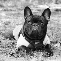 Frogging out, French Bulldog just Chillin'. French Bulldog Names, French Bulldogs, Puppies And Kitties, Doggies, I Love Dogs, Cute Dogs, Animals Beautiful, Cute Animals, Cute Creatures