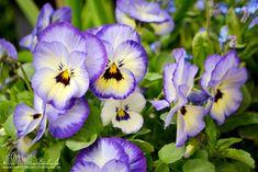 Terassenpflanzen für Töpfe und Kübel auf der Terasse Hier: Veilchen