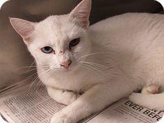 Corona, CA - Domestic Shorthair. Meet C-8, a cat for adoption. http://www.adoptapet.com/pet/11833096-corona-california-cat