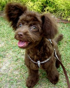Poodle Mix puppy - How cute is she?