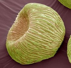 Microscope images of plant seeds and pollens: Angel's trumpets (Brugmansia spp.) pollen grain