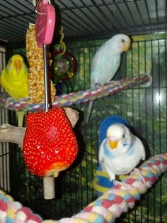 Parakeets love strawberries.