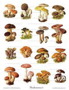 Vintage Mushroom Illustrations  Digital Collage Sheet by ImageArts, $3.99