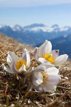 Anemonen am Calanda. Graubünden.