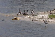 05/09/2012 - A mystery is unfolding in Florida, as several dead pelicans have been found along the Indian River over the past few weeks.