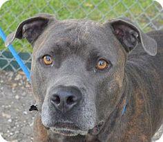 Jefferson, LA - Pit Bull Terrier. Meet Kane, a dog for adoption. http://www.adoptapet.com/pet/11407123-jefferson-louisiana-pit-bull-terrier