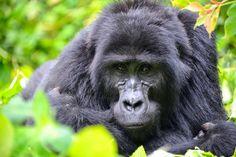 Bwindi Impenetrable National Park - Oeganda