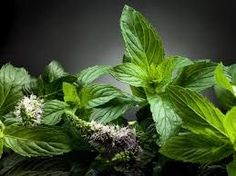 Peppermint is popular as a traditional remedy for several conditions and illnesses because of its calming effects, including flatulence, menstrual pains, diarrhea, nausea, depression-related anxiety, muscle and nerve pain, the common cold, indigestion, and irritable bowel syndrome.