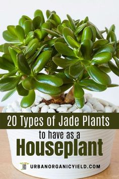 Jade plants (the Crassula family of plants) are a type of succulent. There are over 200 different species of jade plants. Some people even believe that Jade Plants bring good luck and good forturne. In this article, we discuss 20 types of jade plants to grow as a houseplant and outdoors. #JadePlants #Houseplants #Succulents #IndoorGardening #BackyardGardening #Gardening #UrbanOrganicYield Types Of Succulents, Succulents Garden, Indoor Plants, Indoor Gardening, House Plant Care, Jade Plants, Good Luck To You, Houseplants, Mini Gardens