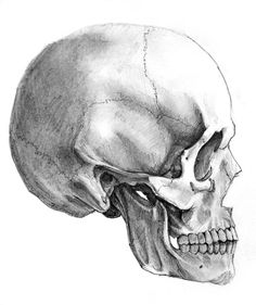 Skull_side_view_by_AlexandrosIII.jpg pixels Need this exact angle for… Anatomy Sketches, Anatomy Drawing, Anatomy Art, Art Drawings Sketches, Skull Reference, Art Reference Poses, Skull Side View, Side View Drawing, Skull Sketch