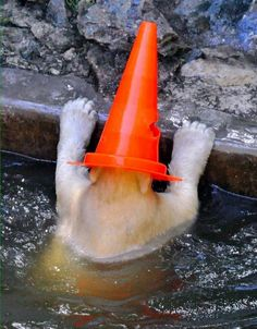The real Conehead! Polar bear with a traffic cone on his head.