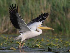 White Pelican | Danube Delta, Romania | by harrybursell