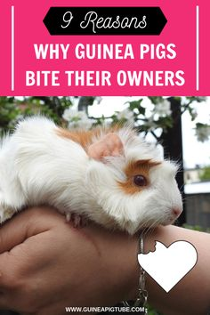 Guinea pigs love socializing and they are gentle pets however when they get annoyed guinea pigs bite. There are situations when guinea pig bites his owner and you need to know how to fix the situation and ensure that your pet feels safe and comfortable. Here you can find out 9 reasons why guinea pigs bite their owners and all that you need to know about guinea pig bitting. Also, learn what to do if your guinea pig is biting another cavy. #guineapigbehavior #guineapigs  #guineapigtips