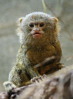 Pygmy Marmoset by Dries Arnolds Primates, Mammals, Golden Lion Tamarin, Pygmy Marmoset, Bornean Orangutan, Slow Loris, Cute Monkey, San Diego Zoo, Zoo Animals