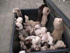 Lots of ferrets! - ferrets Photo