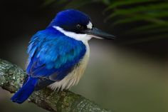Little Kingfisher( Alcedo pusilla) photographed by Magnus Strobel. It is found in open forest, woodland, swamps and mangroves in Australia, Indonesia, Papua New Guinea and the Solomon Islands.