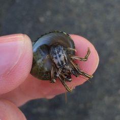 Рак-отшельник - Hermit crab