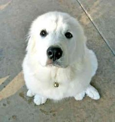 Great Pyrenees pets