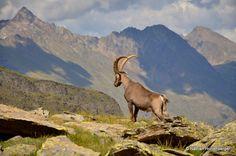 Bouquetin des Alpes  (Ref : fm-133)