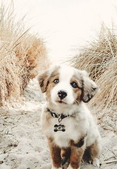 puppies on beach - puppies on beach ; puppies at the beach ; cute puppies at the beach ; cute puppies golden retriever the beach ; cute puppies on beach Cute Baby Dogs, Super Cute Puppies, Baby Animals Super Cute, Cute Little Puppies, Cute Dogs And Puppies, Cute Little Animals, Cute Funny Animals, Doggies, Puppies Puppies