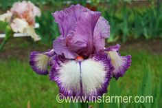 This tall bearded iris named 'Confidante' is not only beautiful but also a terrific rebloomer!