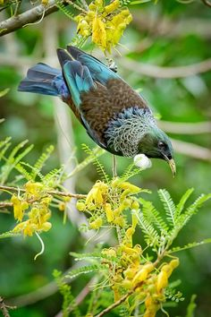 The Tui is an endemic passerine bird of New Zealand, and the only species in the genus Prosthemadera. It is one of the largest species in the diverse Australasian honeyeater family. Pretty Birds, Love Birds, Beautiful Birds, Exotic Birds, Colorful Birds, Tui Bird, Kiwiana, Bird Pictures, Wild Birds