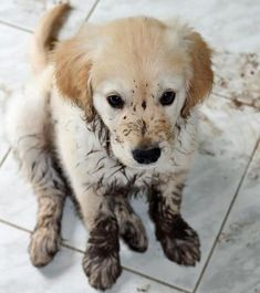 Muddy Golden Retriever Puppy--- he knows he is in trouble. :') #GoldenRetriever