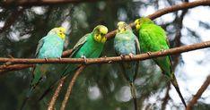Muhabbet Kuşu Bakımları Nasıl Yapılır?