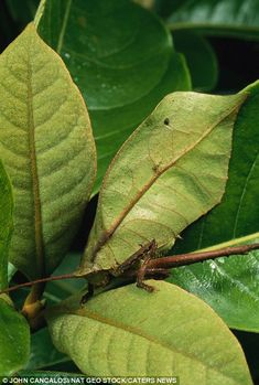 Nothing out of the ordinary: A Leaf mimic katydid makes an uncanny addition to this group of leaves