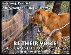 Petitions to sign asking for the cessation of canned hunting:  1. http://www.causes.com/actions/1671426-save-our-lions-from-canned-hunting  2. http://www.change.org/petitions/ban-canned-hunting-also-referred-to-as-fenced-in-shooting-preserves  3. http://www.avaaz.org/en/petition/Stop_Canned_Hunting_in_South_Africa/