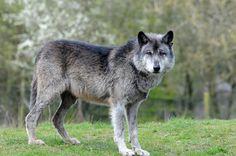 Mackenzie-Valley-Wolf im Givskud Zoo | by Ulli J.