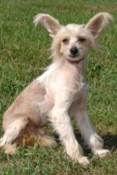 Martini HOUSE TRAINED is an adoptable Chinese Crested Dog Dog in Mishawaka, IN. Martini came to us after being retired from a commercial breeding kennel & he is ready to start his life as a pet. He ha...