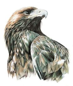 Wedge Tail Eagle by ZiyaEris #AnimalArt #Art #Drawing #Bird